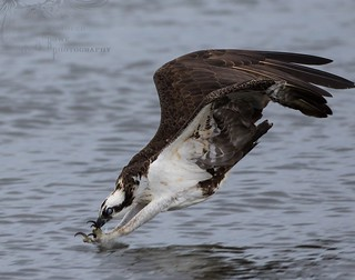 Osprey in the rain 7_14 1