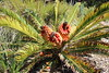 IMG_4545 (cheryl's pix) Tags: california berkeley botanicgarden botanicalgardens botanicalgarden botanicgardens berkeleyca berkeleybotanicalgarden ucbotanicalgarden universityofcaliforniabotanicalgarden universityofcaliforniabotanicalgardenatberkeley