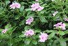 "Catharanthus roseus - Botanischer Garten Berlin • <a style=""font-size:0.8em;"" href=""http://www.flickr.com/photos/25397586@N00/19741698076/"" target=""_blank"">View on Flickr</a>"