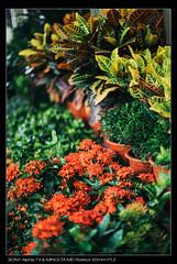 DSC03073 (YKevin1979) Tags: hongkong 50mm md minolta bokeh sony vegetation 50 mongkok manualfocus flowermarket  f12 rokkor  a7ii   a7mark2 ilce7m2
