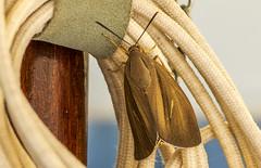 BIG Moth (nicklucas2) Tags: insect moth menorca