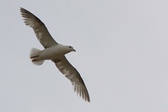197Stormmeeuw : Goeland cendre : Larus canus : Sturmmowe : Mew Gull