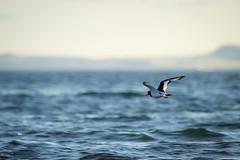 Oystercatcher fight | Haematopus ostralegus (Bertie Allison) Tags: bird animal scotland dof fife elie firthofforth eurasianoystercatcher haematopus ostralegus wildlifephotography canon60d 100400mml