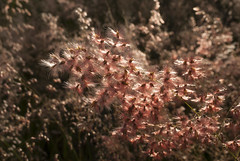.... (tangaxoan) Tags: planta amanecer reflejo semillas biodiversidad biologa gramnea pastizal