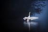 'Blue Monday' (Jonathan Casey) Tags: swan mist tree water nikon d810 200mm f2 vr whitlingham great broad norfolk uk