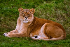 This is my patch of grass !! (rustyruth1959) Tags: nikon nikond3200 sigma sigma70300mm ywp yorkshirewildlifepark cat lioness lion animal outdoor grass feline yorkshire fur face eyes mouth ears paws tail