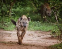 Spotted Hyaena (johannekekroesbergen) Tags: africa zambia trackandtrailrivercamp safari nature hyaena spotted afrika southluangwa hyena