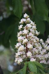 Beyaz çiçekli At Kestanesi - Aesculus hippocastanum (halukderinöz) Tags: beyaz çiçek kestane white flower horse chestnut ankara türkiye canoneos40d eos40d hd