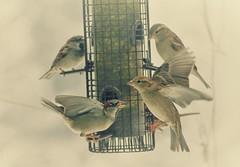 Feeder Frenzy ~ HSS! (karma (Karen)) Tags: baltimore maryland home backyard birds feeders sliderssunday hss topf25