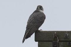 Gyrfalcon (Terrance Carr) Tags: 201201 brunswick ferry dncb port terry carr 20120109 2012 january terrycarr