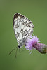Marbled White (Nina Leitgeb) Tags: marbled white butterfly schmetterling schachbrettfalter falter tagfalter austria