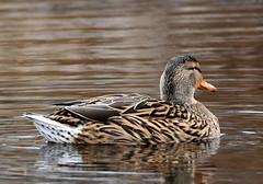 Mallard reflections. (pstone646) Tags: mallard duck wildfowl waterfowl nature lake animal ashford kent bird water wildlife fauna