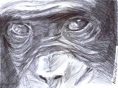 chimpance a lapicero (ivanutrera) Tags: chimpancé draw dibujo drawing dibujoalapicero boligrafo animal mono monkey lapicero pen sketch sketching wild wildlife dibujoaboligrafo