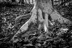Day19/365 2017 Edition (B&W Week)- Roots (Angela D Beck) Tags: tree roots root nikon d750 365 2017 edition 3652017 day 19365 19jan17 forest texture