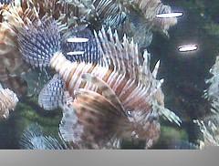 #throwback a Lionfish at Georgia Aquarium, what a neat fish that's almost transparent.  Georgia Aquarium has got to be one of the best, good times in the ATL!! 🐠🐟 #lionfish #fish #GeorgiaAquarium #aquarium #Atlanta #Georgia #sealife #ma (AlexGilbertOfficial) Tags: throwback lionfish fish georgiaaquarium aquarium atlanta georgia sealife marinebiology