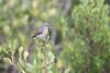 DSC_7003 (mylesm00re) Tags: f africa cinnyrischalybeus kleinrooibandsuikerbekkie nectariniidae sanparks southafrica southerndoublecollaredsunbird westcoastnationalpark westerncape bird