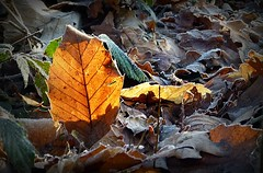 2016-12-27 Beaurepaire (60)leaves (april-mo) Tags: leaves leaf feuille frosted frost gel deadleaves autumnleaves sunlight