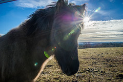 Christmas Pony (Psychograph) Tags: sonne sun sunrise morning himmel sky licht light weide field berge mountain täler valley winter dunst haze pferde horse ponys pony pferd islandpferd iceland islandpony 樋 日头 太阳西沉 霜 昕 远天 光明 شجر شمس شروق الشمس خيل calw outdoor