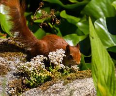 Peek-a-boo (Chris Denning Photos) Tags: redsquirrel tresco trescoabbey gardens islesofscilly southwest england island