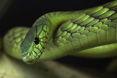 grüne Mamba - green Mamba (Knarfs1) Tags: terrazoo rheinberg reptil reptilien reptile snake schlange