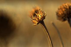 chorus (joy.jordan) Tags: dormant seedhead texture light sunset bokeh nature beautyindeadbrownthings