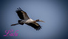 Wood Stork (lh24smile) Tags: 20151030 green cay wood stork