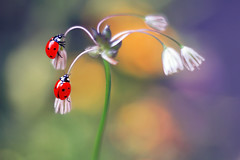 Allium canadense  🐞❤🐞 (ElenAndreeva) Tags: beauty color flower sun light summer bokeh beautiful cute love colors art green insect canon garden funny top soft dream colorful composition sweet focus bug best amazing nature macro ledybug