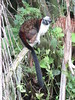 IMG_9091 (dstylebda) Tags: colonpanama gatunlake tamarins howlermonkeys sloth