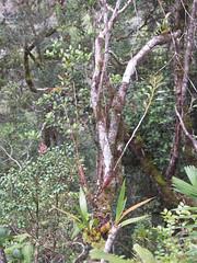 20060801_34 (Badly Drawn Dad) Tags: malaysia mys sabah ascent gunungkinabalu mountkinabalu epiphytic orchids severaltypes