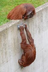 Borneo-Orang-Utans  im Ouwehands Dierenpark (Ulli J.) Tags: zoo niederlande nederland netherlands paysbas nederlandene utrecht rhenen ouwehandsdierenpark borneanorangutan borneoorangutan orangoutandebornéo borneoseorangoetan borneoorangutang