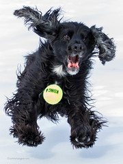 4/52 - Sammy 2017 (conniegavin12) Tags: 52weeksfordogs fieldspaniel dog snow pet ball spaniel play