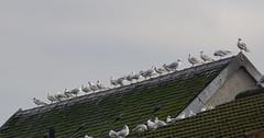 Black-headed Gulls (Dr Wood's Wildlife Photos) Tags: blackheadedgull chroicocephalusridibundus mouetterieuse gouelanpenndu gabbianocomune gaviotareidora lachmöwe hættemåge kokmeeuw naurulokki kokmêeuwe καστανοκέφαλοσγλάροσ hettemåke mewaśmieszka guincho skrattmås