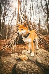 The Tipi's Guardian (Geoffrey Gilson) Tags: shiba inu shibe doge doggo pet animal puppy montseny tipi woods sticks nature