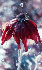 Water is a life (esoragotka) Tags: life flower nature water rain drop fresh freshness