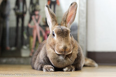 IMG_7903-1 (Rabbit's Album) Tags: pet cute rabbit bunny animals  choco   minirex  ef50mmf18   canonx7i x7i