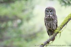 Great Gray Owl - Adult Female (Scott Carpenter Photography) Tags: summer bird birds pine forest fire spring nest meadow bluemountains burn breeding pacificnorthwest ponderosa nesting easternoregon lodgepole familyunit