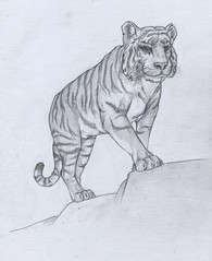 amur siberian tiger (devinderry) Tags: animalart zooart animaldrawing zoodrawing