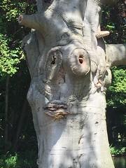 Boom met een gezicht. Tolkien zou het een Ent noemen. (Patrick Rasenberg) Tags: park tree forest den boom hague haag bos gezicht clingendael