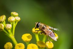 Dronefly (Harry Sterken) Tags: insect tansy zweefvlieg dronefly blindebij tanacetumvulgare eristalistenax boerenwormkruid