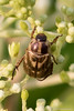 20150630-_N9A8615.jpg (whereamihere) Tags: plants places hydrangea insectsandspiders orientalbeetle 712015 aronwold