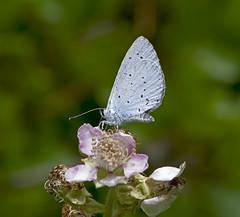 Polyommatus iphigenia / Chelmos Blue (katunchik) Tags: butterfly bulgaria schmetterling lycaenidae bulgarien bulharsko