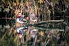 Love, everlasting (P & Y Photography) Tags: nature animal bird waterfowl duck wild mandarinente canardmandarin canard ente water river lake wood leaves fall autumn automne reflection yellow orange red black calm isolated pair couple love serene canon 5diii 5d3 70200 light shadow mandarinduck europe europa ingolstadt bayern bavaria germany stream danube donau silent shutter silence photography camera luck fidelity romance