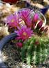 Eriosyce subgibbosa 'multicolor' (l.e.violett) Tags: cactus flowers cultivated eriosyce subgibbosa multicolor arizona pse