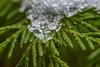 Ice On Green (dietmar-schwanitz) Tags: winter schnee snow ice eis thuja bokeh makro macro grün green color colour nikond750 nikonafsmicronikkor105mmf28ged sigma sirui lightroom dietmarschwanitz