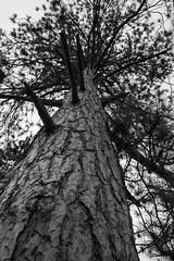Bark & branches [explored] (kwtracyghostship) Tags: kwtracyghostship blackandwhite bw alleghenycounty commonwealthpa westernpa pennsylvania unitedstates us southpark moody textures bark saveearth