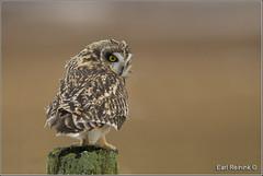 Short-eared Owl:  Focused (Earl Reinink) Tags: owl raptor earl reinink earlreinink nature bird naturephotography birdphotography nikon nikond5 ontario canada shortearedowl rzhazduara focus
