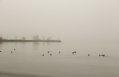 Fog on the Lake (lnoelle89) Tags: fog ducks mallard pier water winter mono monochrome white lake great ontario niagara marina foggy moody canon canonphotography canoneos canon6d photography niagaraphotography niagaraphotgrapher wintery mild
