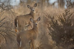 840A9459 (rpealit) Tags: scenery wildlife nature wallkill river national refuge area whitetailed deer