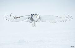 Snowy-flyby (Corey Hayes) Tags: winter flight art nature eyes low bif