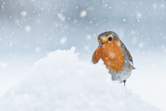 Covered In Snow (jc's i) Tags: robin 2017 snow ps cc